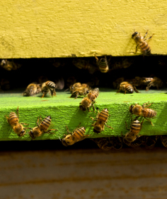 Honey bee hives for sale   honey bees for sale   buy bee hives